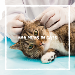 ear mites cat health