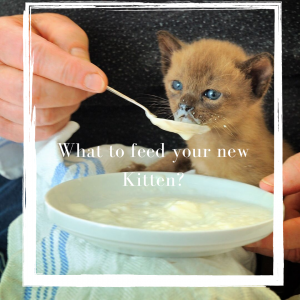what to feed a kitten